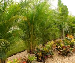 palm tree landscaping ideas trees for online latest banana privacy