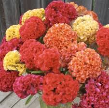 coxcomb flower friday florals coxcomb alexan events denver wedding planners
