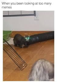 Ferret Meme - ferret meme ferrets