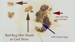What Does Bed Bugs Eggs Look Like Baby Bed Bugs Eggs Tell Tale Signs Pictures Pest Control Of