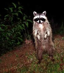 How To Get Rid Of Raccoons In Backyard How To Get Rid Of Coyotes Skunks Raccoons And More L A At