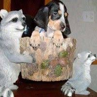 bluetick coonhound kennels in tennessee 16 best akc ukc bluetick coonhound puppies for sale images on