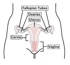 Female Meatus Anatomy The Structure Function Histology Teachmeanatomy