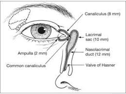 Goat Eye Anatomy Anatomy And Physiology Of Lacrimal Apparatus Ppt