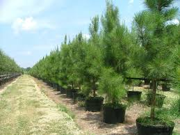 trees for deciduous and evergreen shade or
