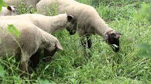 the hop yard sheep on our hop farm youtube
