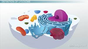 lysosome definition u0026 function video u0026 lesson transcript