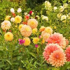 Images Flowers Best 25 Dahlia Flowers Ideas On Pinterest Macro Express Diy