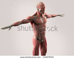 Shoulder And Arm Muscles Anatomy Shoulder Anatomy Stock Images Royalty Free Images U0026 Vectors