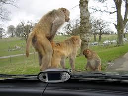 Sexy Monkey Meme - crazy monkey sex by morgoth883 on deviantart