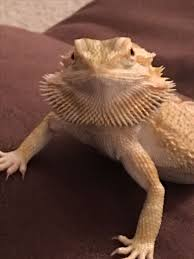 Lizard Toast Meme - beautiful this gargoyle gecko is awkward and adorable wallpaper