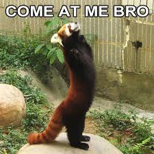 Red Panda Meme - come at me bro red panda edition come at me bro know your meme