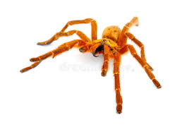 orange baboon tarantula royalty free stock photography image