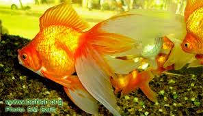 ornamental fish and aquarium bdfish feature