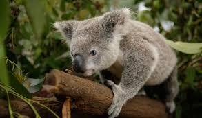 koala genome bank aims chlamydia epidemic australian