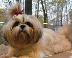 affenpinscher in texas brachycephalic syndrome in small dogs