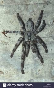 sri lankan ornamental tarantula poecilotheria fasciata sri