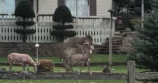 confused deer gets in nsfw act with a lawn ornament