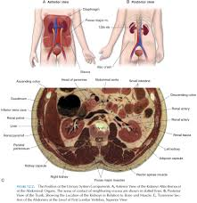 components of the urinary system study material lecturing notes