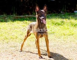belgian shepherd short hair belgian shepherd dog stock photo thinkstock