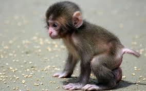 cute monkey wallpaper desktop 52dazhew gallery