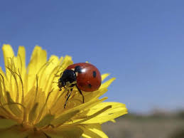 How To Find Ladybugs In Your Backyard Learn About Ladybugs Science Lesson Project