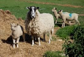 eight hour sheep movie baa baa land is meant to put you to sleep