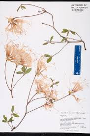 native plants of new york rhododendron canescens species page isb atlas of florida plants