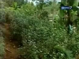 Teh Arab tanaman teh arab positif chatynone
