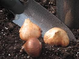 how to bulbs when to plant spring bulbs outside or in pots