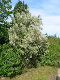 1750 russian olive alternatives planttalk coloradoplanttalk