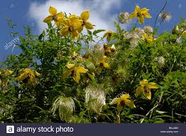 yellow flowers seedheads of clematis tangutica climbing through