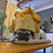 doug the pug on thanksgiving is a pug s