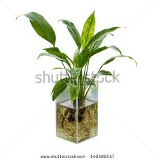 Peace Lily Peace Lily Stock Images Royalty Free Images U0026 Vectors Shutterstock