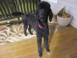 poodles long hair in winter not a standard poodle pretty poodle
