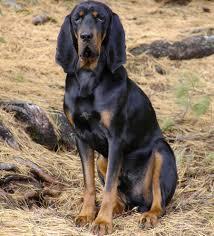 bluetick vs english coonhound black and tan virginia foxhound dog breed standards