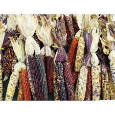 ornamental corn bunch box of 12 andersonfarmsindiana