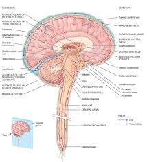 What Is Human Anatomy And Physiology Physiology Bacterial Meningitis