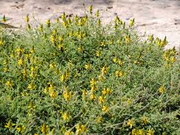 san diego native plant nursery dalea capitata u0027sierra gold u0027 sonoran desert low growing