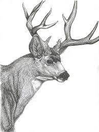 mule deer head drawing
