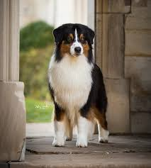 australian shepherd kennel club shadomoon aussies trump