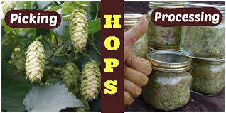 hops how to harvest process and store hops youtube