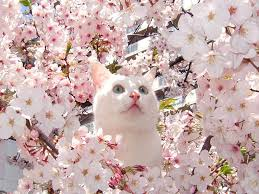 12 photos that prove that cats love cherry blossoms as much as we