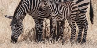 zebra stripes may be more for cooling than camouflage huffpost
