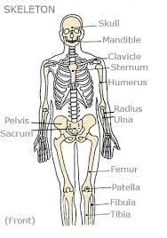 Anatomy Of The Human Skeleton Kids U0027 Health Topics Your Bones