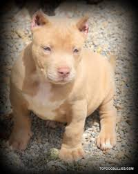 american pitbull terrier for sale in ohio xxl biggest best extreme pitbulls american bully breeder kennel