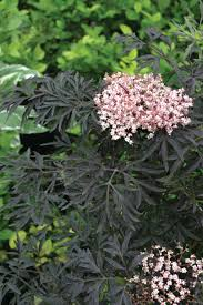 black lace elderberry monrovia black lace elderberry