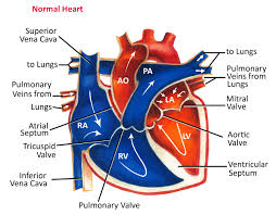 Heart Wall Anatomy Normal Heart Anatomy And Blood Flow Pediatric Heart Specialists