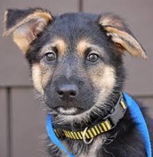 adopt a belgian sheepdog untitled document