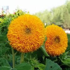 teddy sunflowers aliexpress buy ornamental plant sunflower seeds teddy